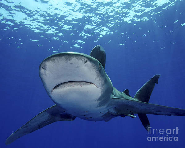 Carcharhinidae Photograph - Front View Of An Oceanic Whitetip by Brent Barnes