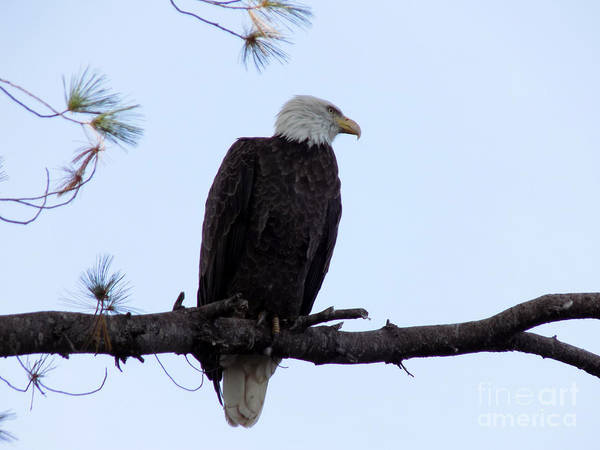 Aroostook Photograph - Frontal Bald Eagle by William Tasker