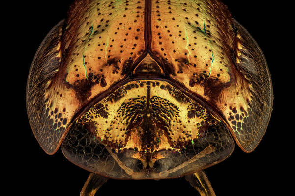 Wall Art - Photograph - Frontal View Of A Golden Tortoise Beetle by Mihai Andritoiu