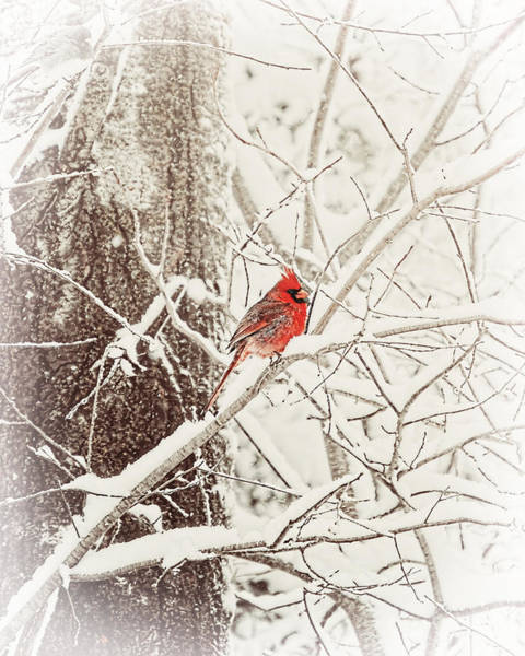 Photograph - Frost Covered Cardinal One Winter Morning by Christina VanGinkel