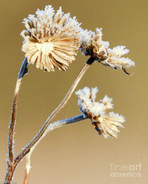 Rod Taylor Photograph - Frost Crystals On Dried Field Flowers by David Taylor