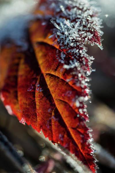 Photograph - Frost On Blackberry Leaf by Robert Potts
