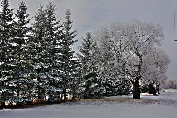 Photograph - Frost Trees by David Matthews