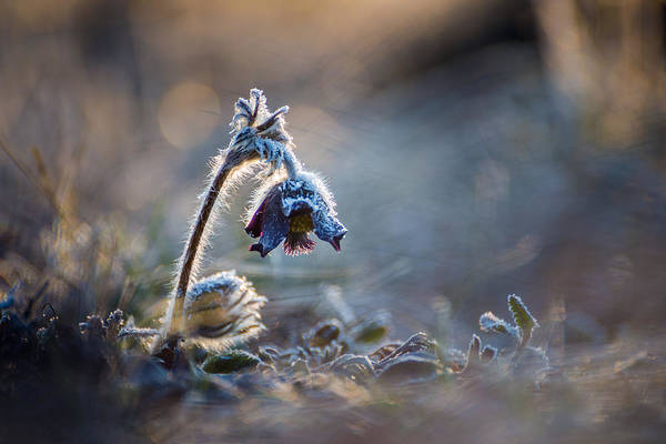 Dof Photograph - Frosted Beauty by Davorin Mance