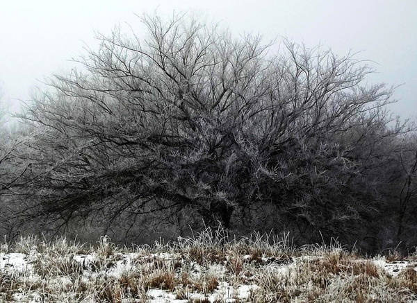 Photograph - Frosted Elm by Shelli Fitzpatrick