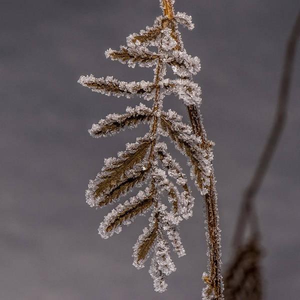 Fern Frost Photograph - Frosted Fern by Paul Freidlund