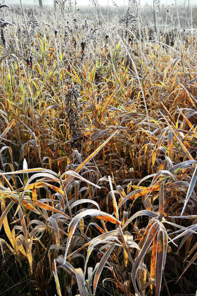 Photograph - Frosted Grasses In Glacial Park by Ray Mathis