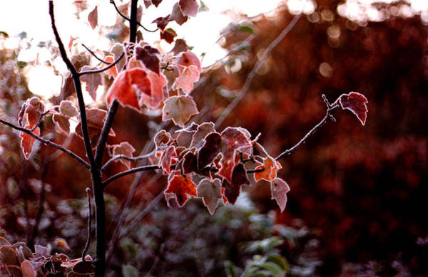 Photograph - Frosted Leaves by Wayne King
