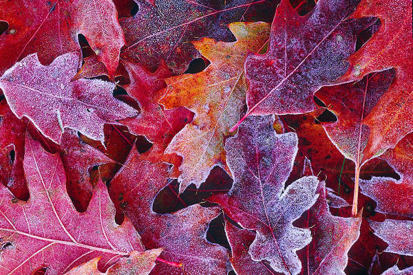 Photograph - Frosted Red Oak Leaves by Tony Beck