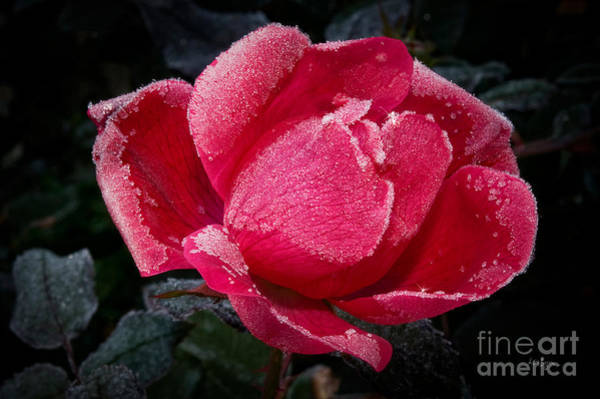 Photograph - Frosted Rose by Lois Bryan