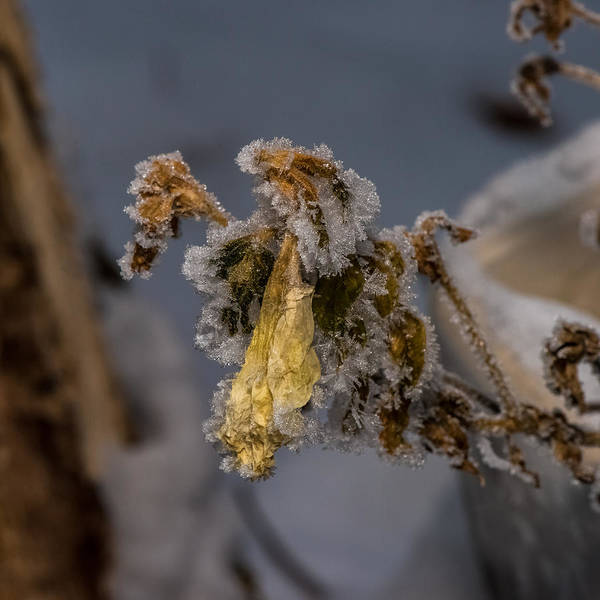 Fern Frost Photograph - Frosted Rose by Paul Freidlund