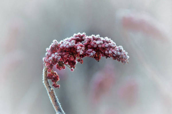 Wall Art - Photograph - Frosted Staghorn Sumac by Susan Capuano