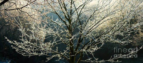 Photograph - Frosted Trees by Colin Rayner