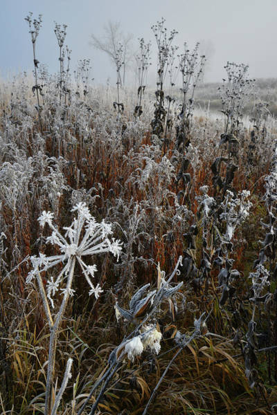 Photograph - Frosted Wildflowers Along Nippersink In Glacial Park by Ray Mathis
