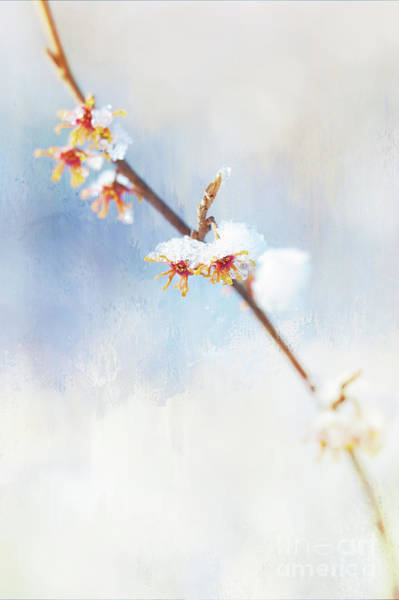 Frosted Witch Hazel Blossoms  Art Print