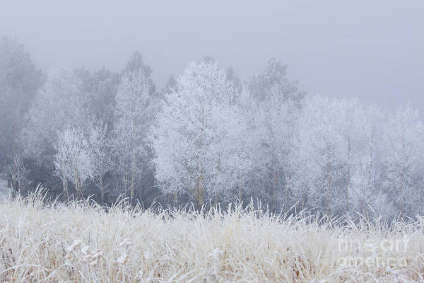 Photograph - Frosty Aspen Grove On Bald Mountain by Steve Krull
