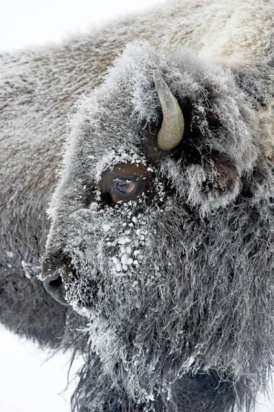 Frosty Bison Art Print