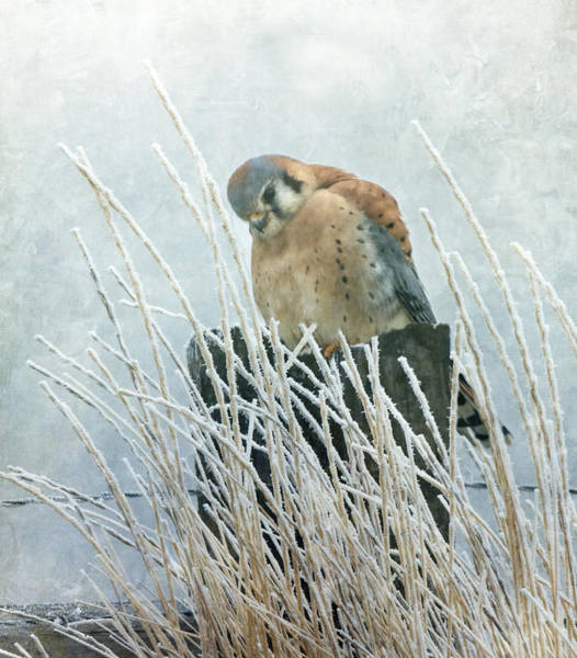 Wall Art - Photograph - Frosty Falcon by Angie Vogel