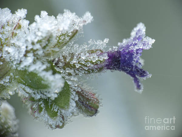 Photograph - Frosty Flower by Odon Czintos