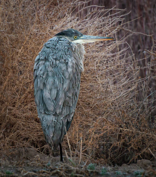 Photograph - Frosty Heron by Britt Runyon