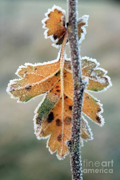 Frosty Leaf Art Print