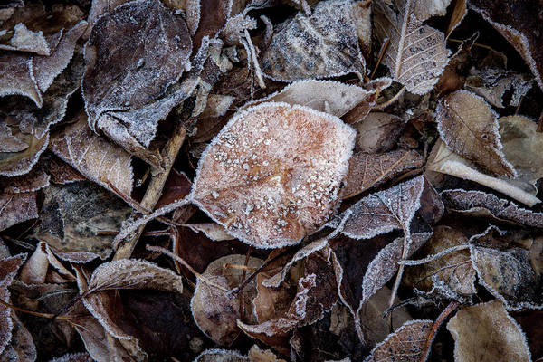 Frosty Photograph - Frosty Leaves In A Small Pile by YoPedro