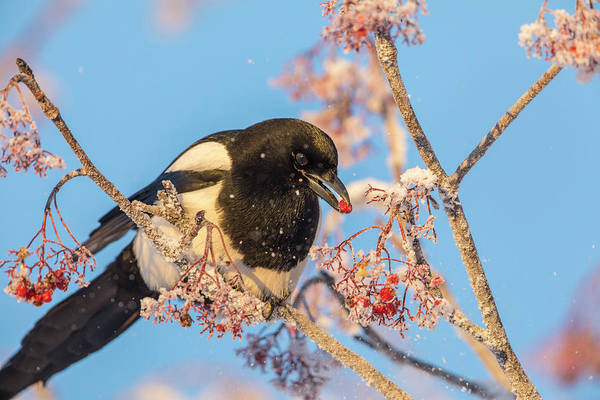 Wall Art - Photograph - Frosty Magpie by Tim Grams