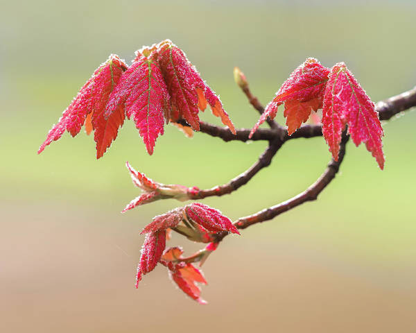 Photograph - Frosty Maple Leaves by Steve Zimic