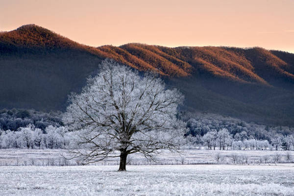 Photograph - Frosty Oak Tree by Ken Barrett