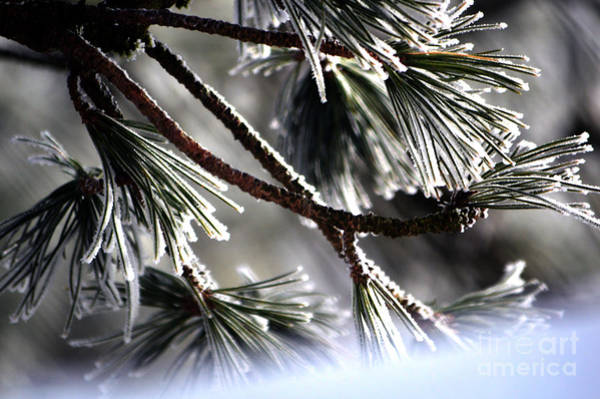 Photograph - Frosty Pine Tree - Winter In Switzerland by Susanne Van Hulst