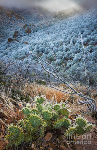 Chisos Mountains Photograph - Frosty Prickly Pear by Inge Johnsson
