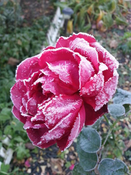 Become One Wall Art - Photograph - Frosty Rose by Dennis Burton