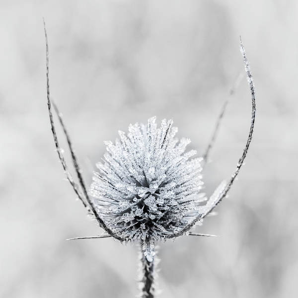 Photograph - Frosty Thistle by Nick Bywater