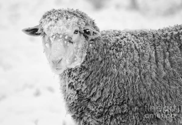 Farm Animals Photograph - Frozen Dinner by Mike  Dawson