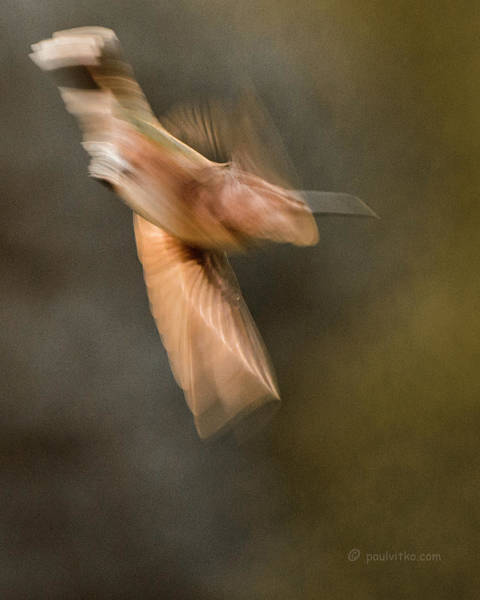 Photograph - ...frozen Flight Hummingbird.... by Paul Vitko