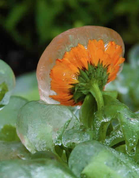 Photograph - Frozen Flower by Marie Leslie