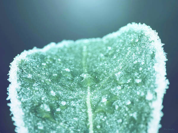 Icy Leaves Wall Art - Photograph - Frozen Leaf by Wim Lanclus