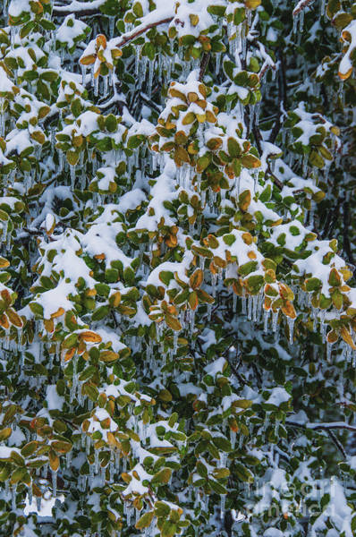 Photograph - Frozen Leaves by Mae Wertz