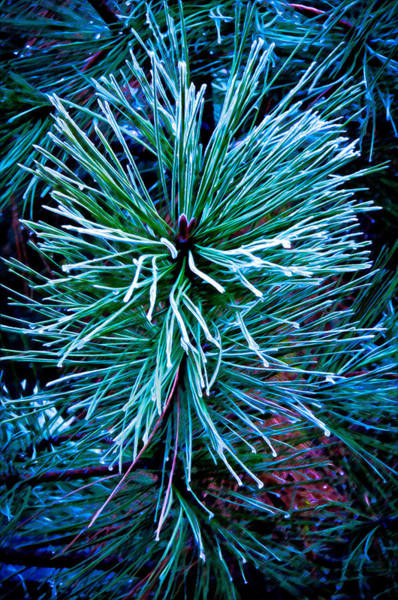 Pine Needles Painting - Frozen Pine Needles  by Connie Cooper-Edwards
