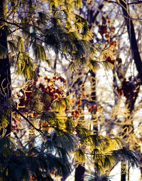 Photograph - Frozen Pine Sunrise by Sam Davis Johnson