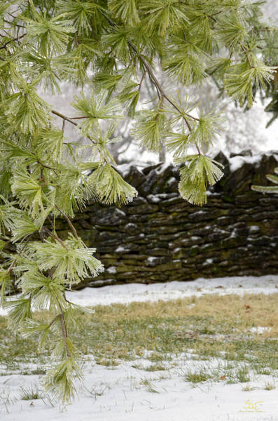 Photograph - Frozen Pines And Stone Fence by Sam Davis Johnson