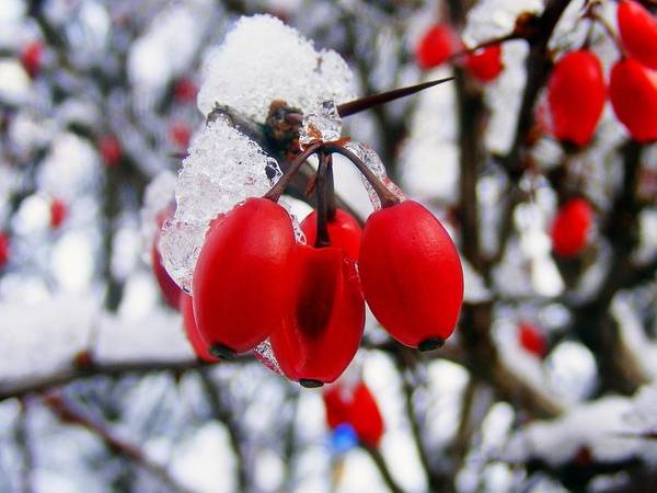 Frozen Red Berries Art Print