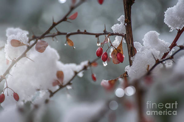 Photograph - It's Berry Cold by Susan Warren