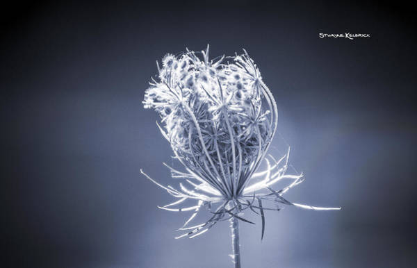 Photograph - Frozen Wildflower by Stwayne Keubrick