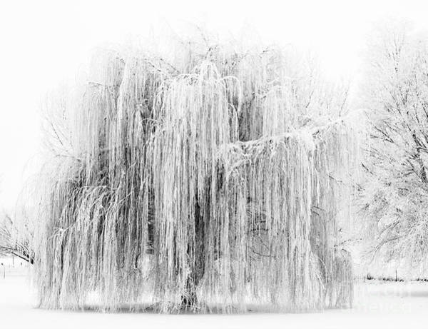 Hoar Photograph - Frozen Willow by Mike Dawson
