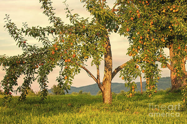 Photograph - Fruit In The Orchard by Mary Lou Chmura