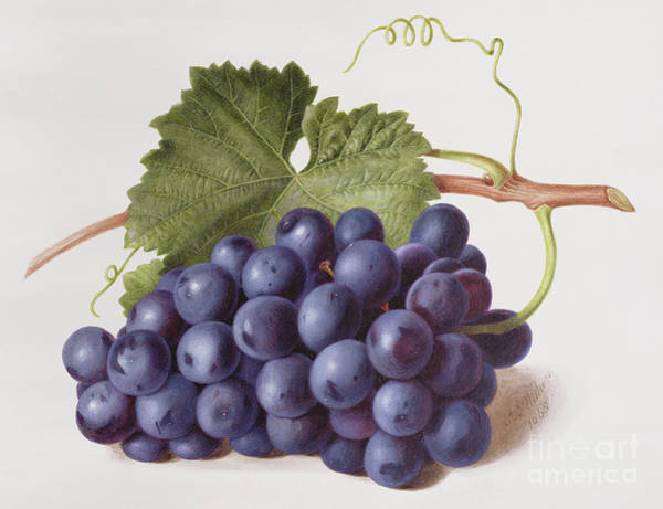 Wall Art - Painting - Fruit Of The Vine by Augusta Innes Withers