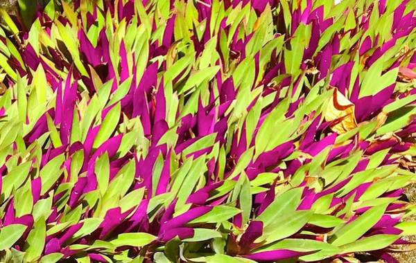 Fuchsia And Green -- Aloha Ground Cover Art Print