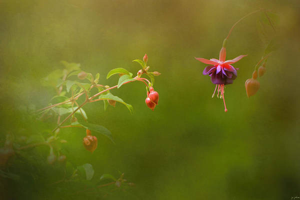 Photograph - Fuchsia Buds And Bloom by Jai Johnson