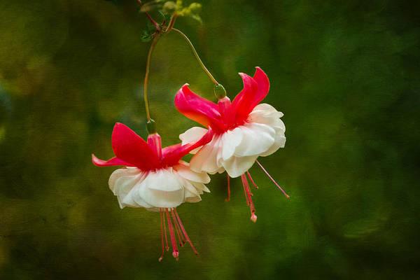 Photograph - Fuchsia Dance by Mary Jo Allen